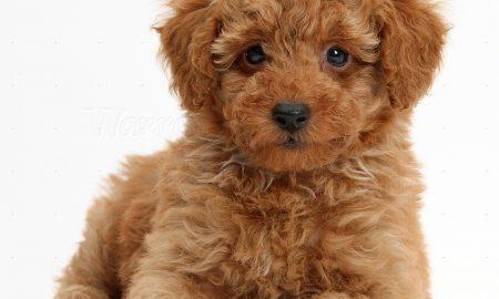 Tùng Lộc Pet – Chào bán đàn chó Toy Poodle tháng 10/2016