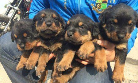 Tùng Lộc Pet – Nhận đặt và bán đàn chó Rottweiler dòng Đại xuất chuồng tháng 02/2015