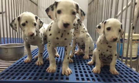 Tùng Lộc Pet – Xuất chuồng đàn chó Đốm – Dalmatian tháng 04-2015