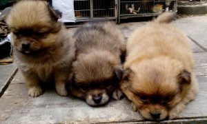 Tùng Lộc Pet – Chào bán đàn Fox Sóc xuất chuồng tháng 2/2015