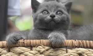 Tùng Lộc Pet -Chào bán đàn mèo anh lông ngắn màu xám xanh tháng 6/2018