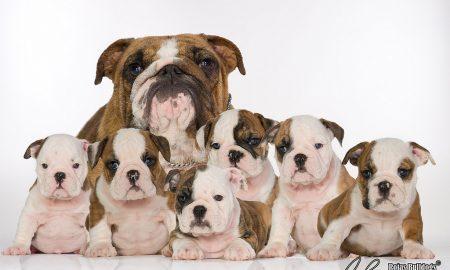 Tùng Lộc Pet – Nguồn gốc giống chó Bulldog Anh