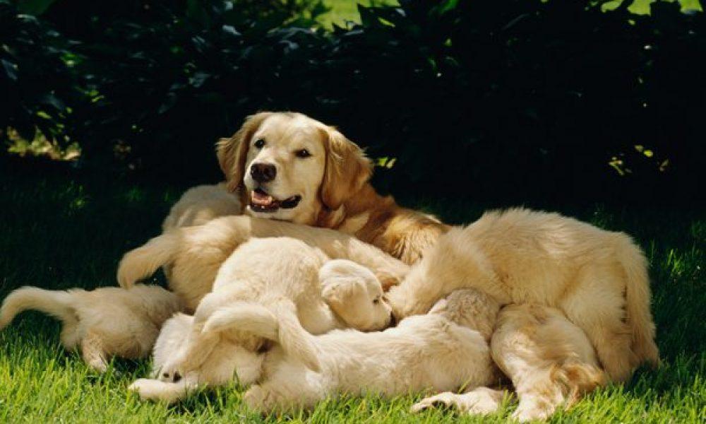 Tùng Lộc Pet- Quy trình phối giống chó và cách chăm sóc cho chó mang thai ( phần 2)