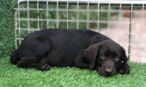 Tùng Lộc Pet – Cập nhật hình ảnh bé chó Labrador màu nâu đã bán tháng 5/2018