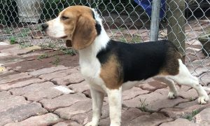 Tùng Lộc Pet – Chào bán chó săn thỏ Beagle cái nhập Thái Lan, đủ giấy tờ.