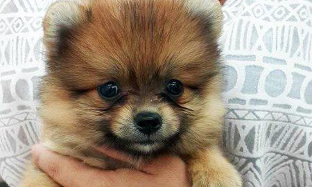 Tùng Lộc Pet – Nhận đặt 3 bé fox sóc nhập Thái Lan cuối tháng 9/2015