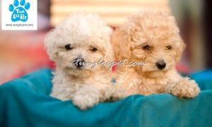 Tùng Lộc Pet – Chào bán đàn chó Tiny Poodle tháng 01/2016