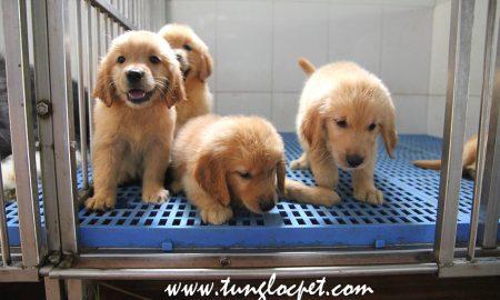 Tùng Lộc Pet – Xuất chuồng đàn chó Golden Retriever thứ 2 trong tháng 7/2015