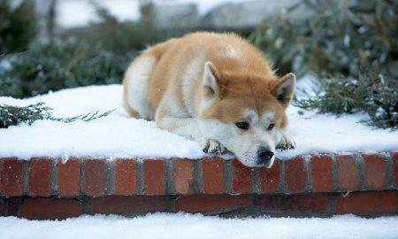 Câu chuyện chú chó Hachiko tội nghiệp