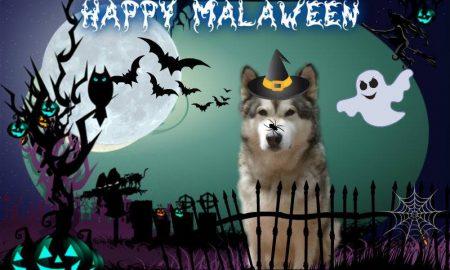 Halloween của những chú Alaska, Husky trên toàn thế giới