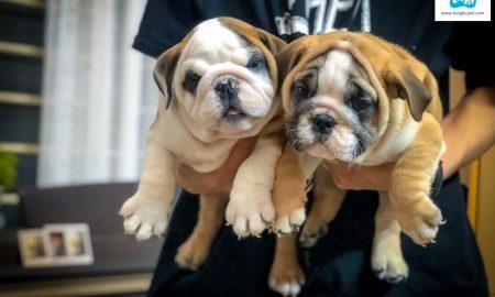 Chào bán đàn chó English Bulldog tháng 2/2018