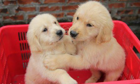 Tùng Lộc Pet – Nhận đặt và bán đàn chó Golden Retriever xuất chuồng tháng 7/2014