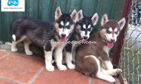 Tùng Lộc Pet – Cập nhật hình ảnh đàn chó Husky tháng 11/2016