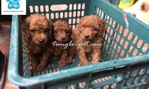 Tùng Lộc Pet – Chào bán đàn chó Poodle Tiny tháng 12/2016