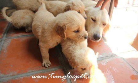 Tùng Lộc Pet – Chào bán đàn Golden 5 bé cuối tháng 9/2015