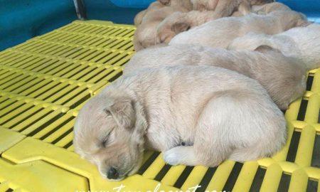 Tùng Lộc Pet – Nhận đặt và bán đàn chó Golden 8 bé tháng 10/2015