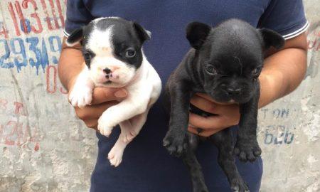 Tùng Lộc Pet – Nhận đặt và bán đàn French Bulldog 2 bé sinh tháng 9/2015