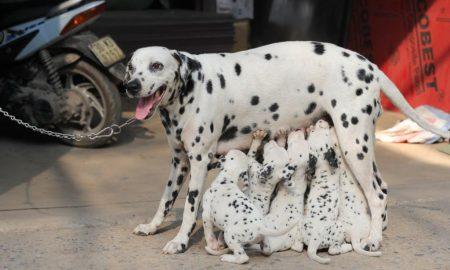 Mang thai và chẩn đoán có thai của chó