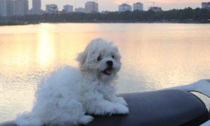 Bichon's puppy for sale