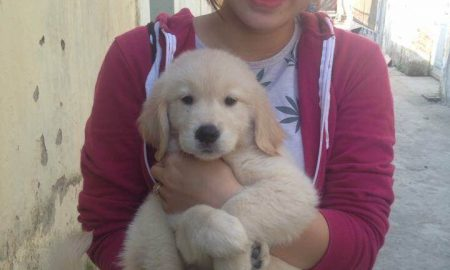 Tùng Lộc Pet – Bán đàn chó Golden Retriever 5 bé cái tháng 10/2015