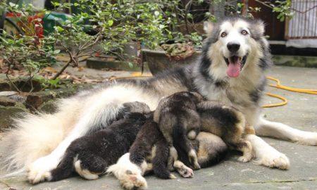 Tùng Lộc Pet – Báo giá bán chó Alaskan Malamute đen trắng và xám trắng tháng 6/2014