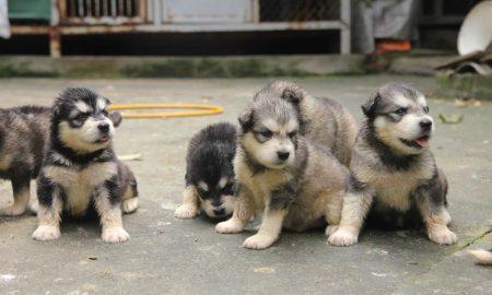 Tùng Lộc Pet – Báo giá bán chó Alaskan Malamute tháng 5/2014
