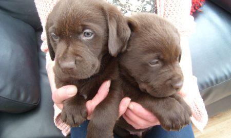 Tùng Lộc Pet – Báo giá chó Golden Retriever và Labrador Retriever tháng 5/2014