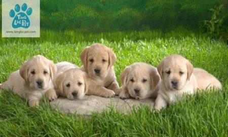 Chào bán đàn chó Labrador khủng tháng 8/2017