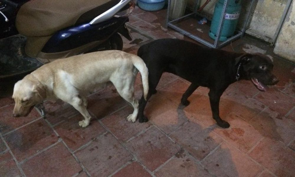 Dịch vụ phối giống chó Labrador Retriever