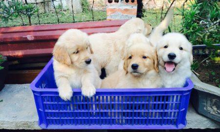 Tùng Lộc Pet – Bán đàn chó Golden Retriever sinh ngày 04/11/2014