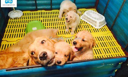 Tùng Lộc Pet – Nhận đặt và bán đàn chó Golden Retriever xuất chuồng cuối tháng 11/2015