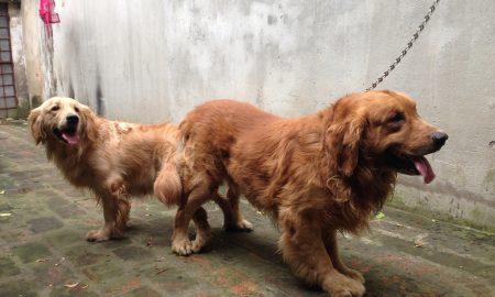 Tùng Lộc Pet – Dịch vụ phối giống chó Golden Retriever