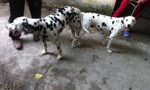 Clip phối giống chó Đốm: Buu và Tina