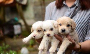 Tùng Lộc Pet – Chào bán ba bé Poodle lai Cocker Spaniel và hai bé Phốc sóc trắng tinh