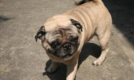 Dịch vụ phối giống chó Pug thuần chủng