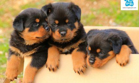 Tùng Lộc Pet – Bán đàn chó Rottweiler khủng có giấy VKA tháng 4 năm 2018