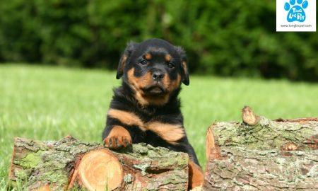 Tùng Lộc Pet – Lịch sử dòng chó Rottweiler