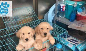 Tùng Lộc Pet – Chào bán đàn chó Golden Retriever tháng 10/2018