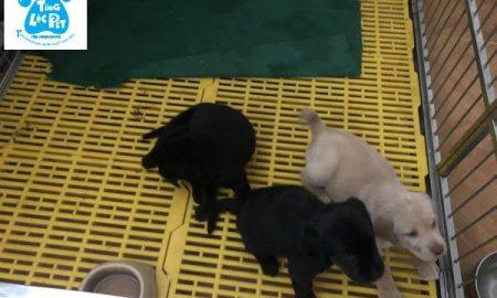 Tùng Lộc Pet – Chào bán đàn chó Labrador Retriever tháng 12/2018