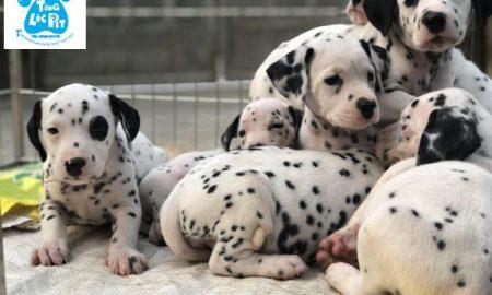 Tùng Lộc Pet – Chào bán đàn chó Đốm tháng 01/2019