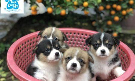Tùng Lộc Pet – Chào bán đàn chó Corgi chân ngắn tháng 02/2019