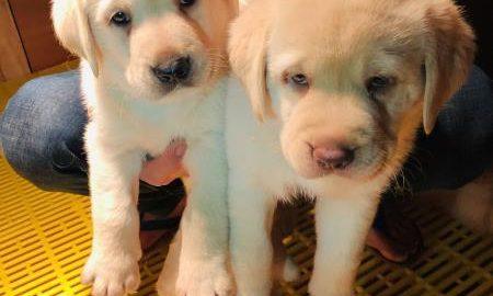 Tùng Lộc Pet – Chào bán đàn chó Labrador màu vàng kim tháng 01/2019