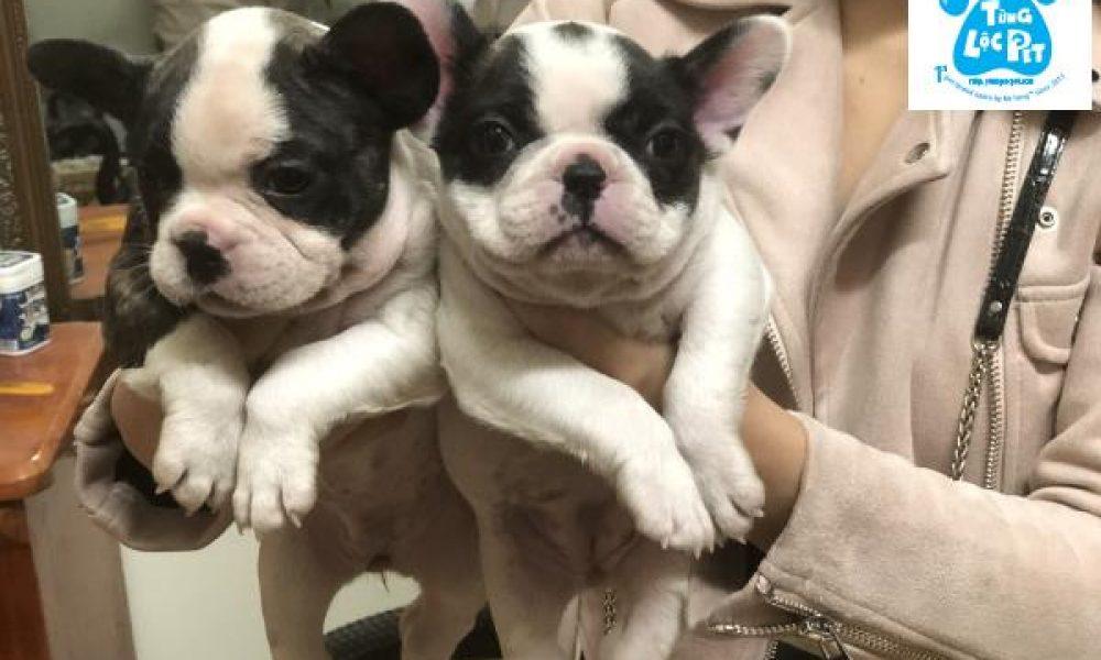 Tùng Lộc Pet – Chào bán chó French Bulldog tháng 03/2019