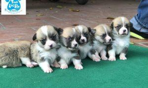Chào bán đàn chó Pembroke Corgi VKA Tháng 04/2019