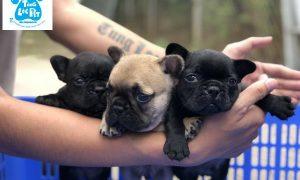 Tùng Lộc Pet – Chào bán đàn chó French Bulldog Tháng 04/2019