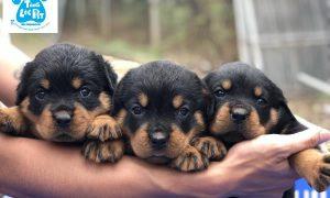 Tùng Lộc Pet – Chào bán đàn chó Rottweiler VKA 10 bé tháng 04/2019