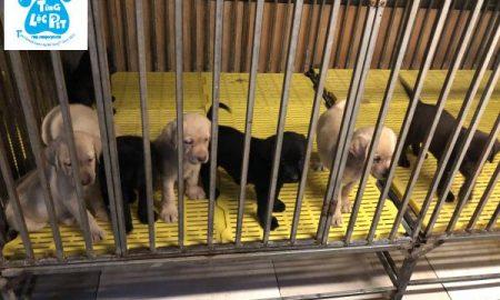 Tùng Lộc Pet – Chào bán đàn chó Labrador Retriever tháng 05/2019
