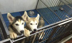 Tùng Lộc Pet – Chào bán đàn chó Siberian Husky tháng 8/2016