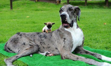 Tùng Lộc Pet – Cuộc gặp gỡ giữa Chó khổng lồ và Chó tí hon