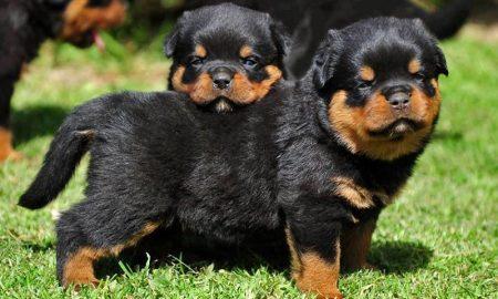 Giá chó Rottweiler – Chó Rottweiler giá bao nhiêu tiền?